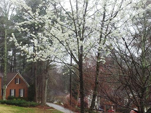 Early Spring Bradford Pear